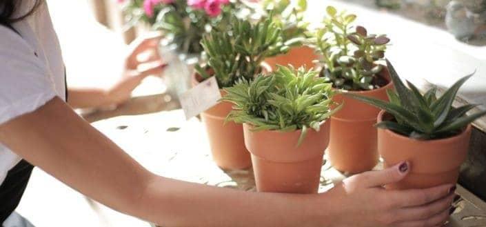 Different pots of succulents