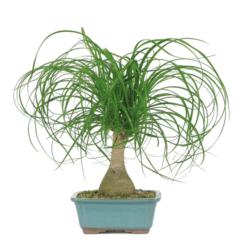 housewarming gifts for men - Ponytail Palm Bonsai Tree