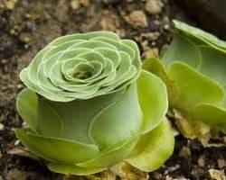 Best Indoor Succulent Plants - Greenovia aurea Aeonium (1)