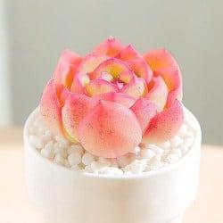 Best Indoor Succulent Plants - Morning dew Succulents (1)