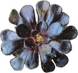 Best Indoor Succulents - Aeonium Black Rose (1)