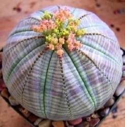 Best Indoor Succulents - Euphorbia obesa (1)