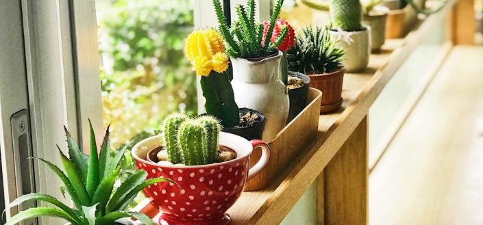 Green cacti iBest Indoor Succulents.jpgn pots near window