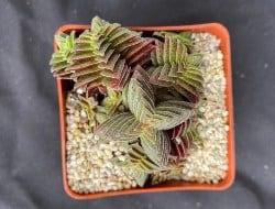 Best Outdoor Succulent Plants - Crassula corymbulsa (1)