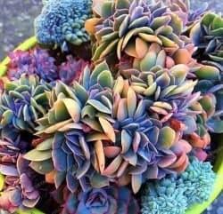 Best Types of Succulent Plants - Rainbow Echeveria (1)