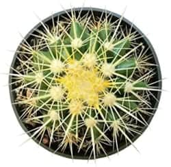 Cest Indoor Succulents - Golden Barrel Cactus
