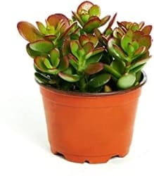 Indoor Succulents That Can be Outdoor - Jade Plant
