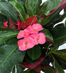 Indoor Succulents that Can Be Outdoor - Red Crown of Thorns