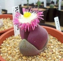 best Indoor Succulents - Lithops (1)