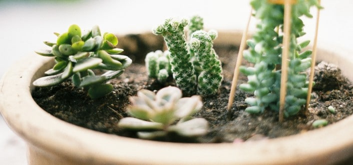 how to plant succulents - What are succulents_