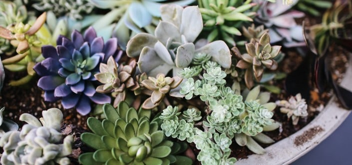 how to plants succulents - Step 5_ know the types of succulents