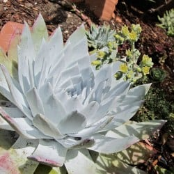 Outdoor Succulents - Giant Chalk Dudleya