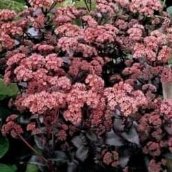 Outdoor Succulents - Sedum 'Purple Emperor'