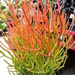 Outdoor Succulents - Sticks on Fire