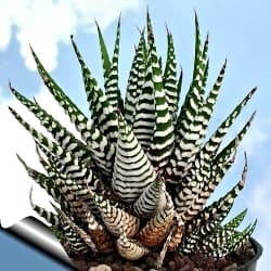 Outdoor Succulents - Zebra Haworthia