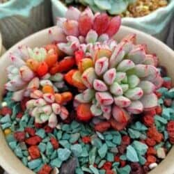 Colorful succulents in a pot with green pebbles