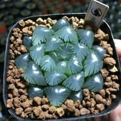 Haworthia obtusa Haw in a pot