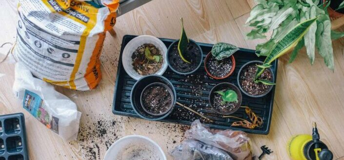 plants newly transferred to pots