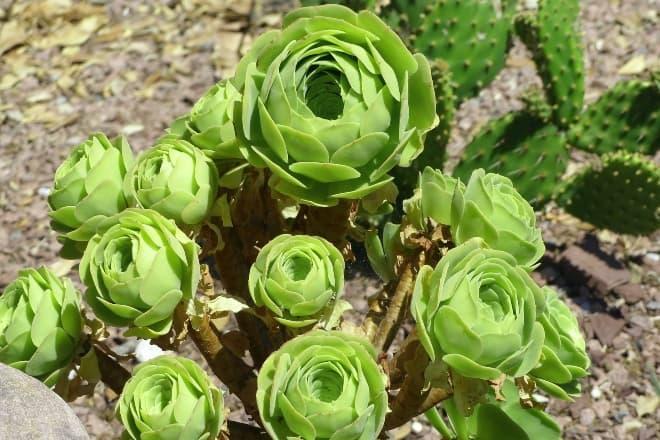 How To Grow And Care For Rose Succulents aka Greenovia Dodrentalis - Main