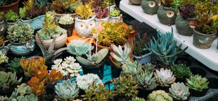 Identify which type of succulent you're working with