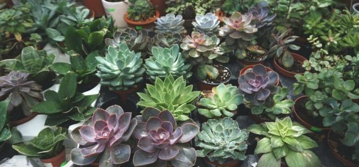 Make Sure You Have The Right Type of Succulent