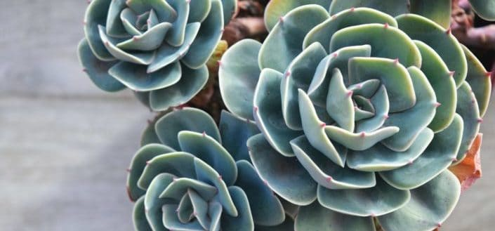 How To Grow And Care For Rose Succulents a.k.a. Greenovia Dodrentalis