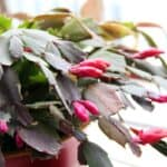 Christmas Cactus – How To Grow & Give Life With Bliss Now!