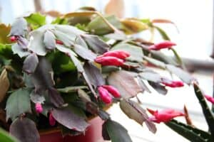 How to grow christmas cactus (Schlumbergera) - Featured