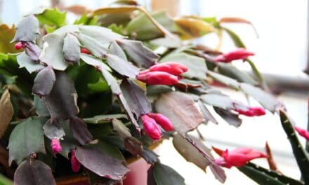 How To Grow a Christmas Cactus (Schlumbergera)