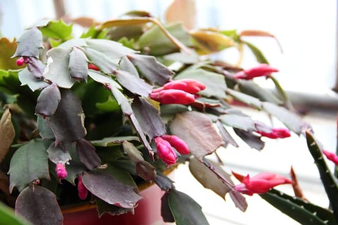 A colorful plant - Christmas cactus
