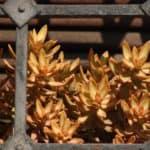 How To Grow Golden glow (Sedum adolphii) - Featured