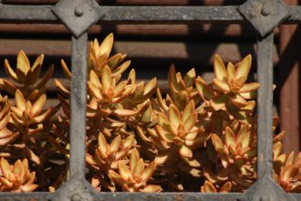 Great Ways To See Results - How To Grow Sedum Adolphii