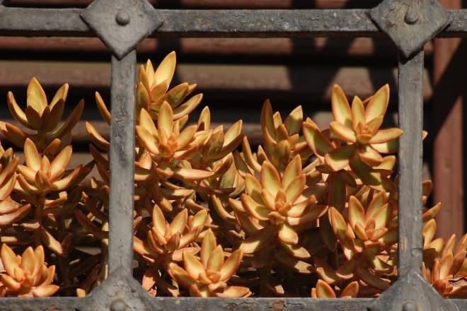 Bountiful growth of a plant - Sedum adolphii