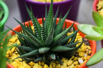 How To Grow Zebra Plants (Haworthia fasciata)