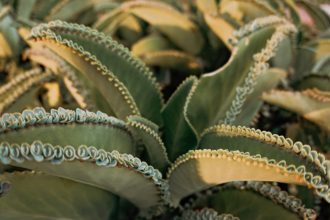 How To Grow Mother of Thousands Easily – All You Need Is Here!