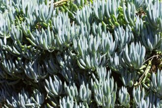 How To Grow Senecio Serpens – Everything Useful To Know
