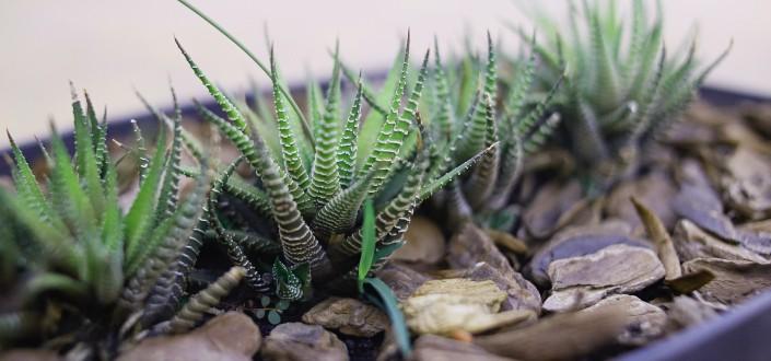 Step #7. Know How To Propagate Zebra Plants