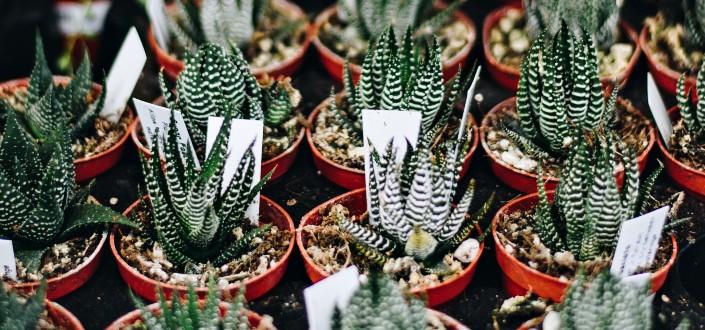 What Is Haworthia fasciata