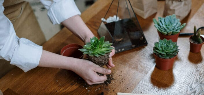 person transferring succulents to a pot