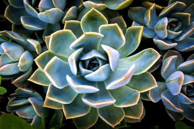 a close up shot of a succulent - aeonium arboreum