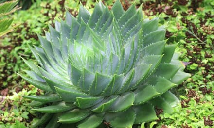 How To Grow Spiral Aloe (Aloe Polyphylla) – Make Your Home Look Amazing