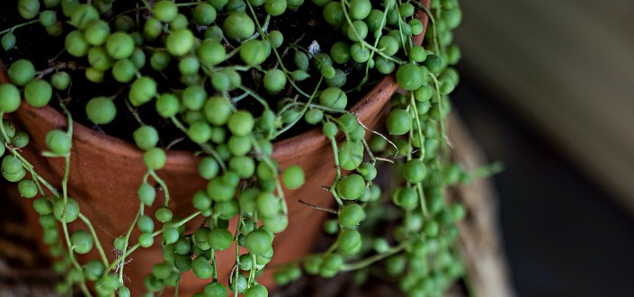 String of pearls draping on a pot.