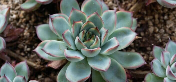 Green succulent plant in close up.