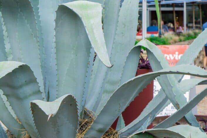 huge outdoor aloe plant