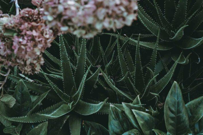 aloe plants beside pink flowers