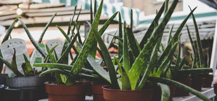 Aloe plants in plain pots