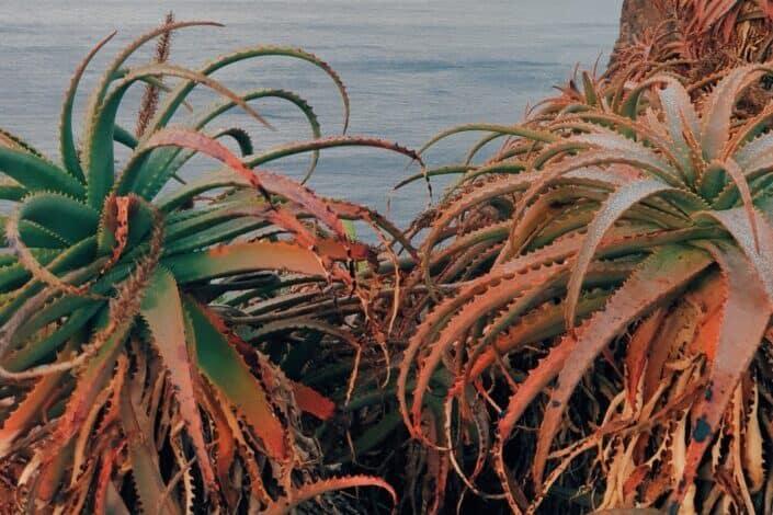 green and orange aloe vera near ocean