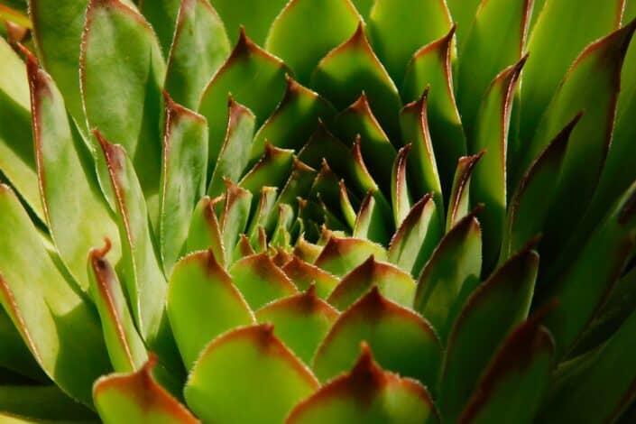 Wide aloe leaves