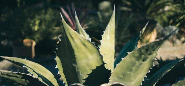 fully grown aloe plant