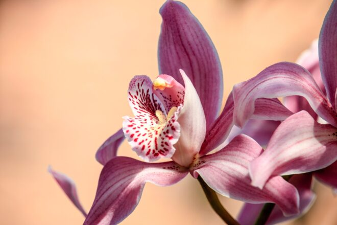 Types of orchids - Pink Petaled Flower